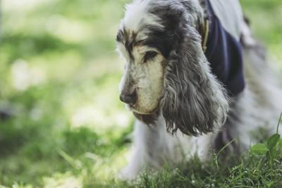 老犬スパニエルの顔のアップ