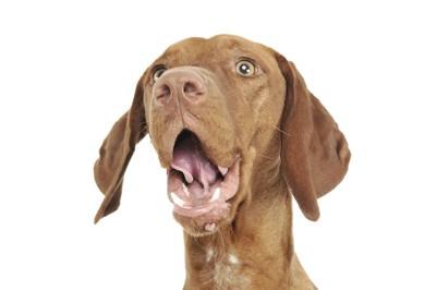 驚いた表情で口を開けている犬