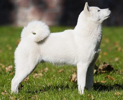 横を向く北海道犬の写真