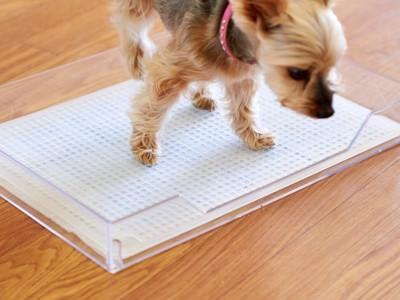クリアレット2のメッシュカバーを使っているヨークシャーテリア犬