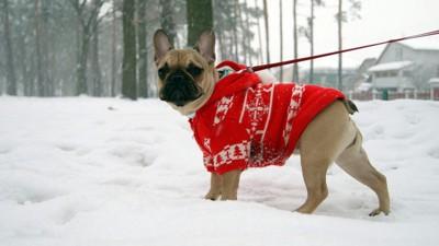 赤い服を着たフレブル