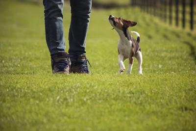 芝生を歩く飼い主と犬