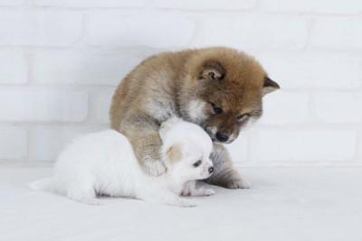 白いチワワと柴犬の子犬