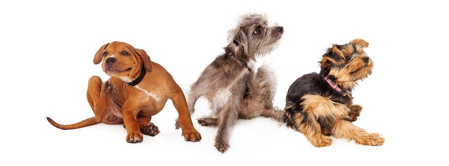 体を掻いている三匹の犬
