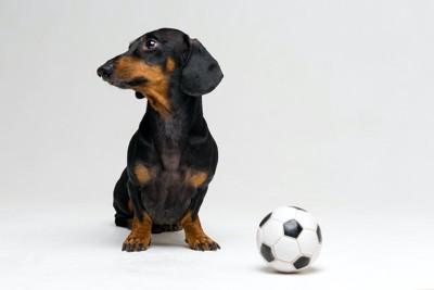 ダックスフンドとサッカーボール
