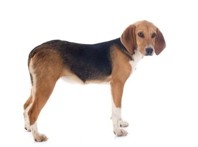 ハリアー犬