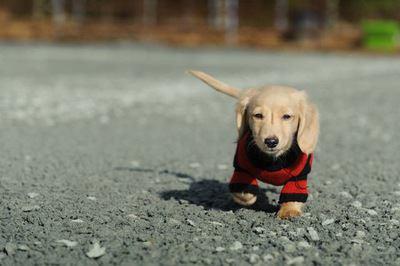 洋服を着て道を歩くカニンヘンダックスフンドの幼犬