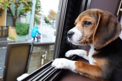 窓辺で見送りする犬