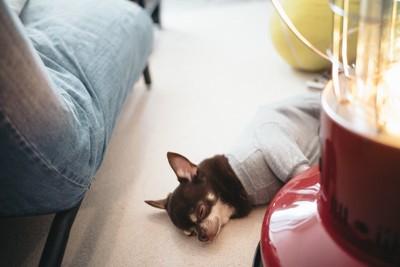 ストーブの横でグレーの服を着て寝ているチワワ
