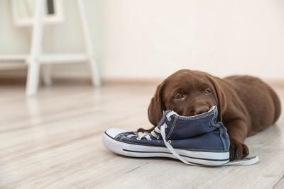 靴を噛んでいる子犬