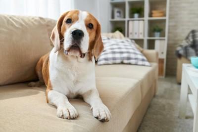 ソファーの上からじっとこちらを見つめる犬