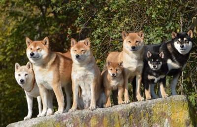柴犬と豆柴の集合写真