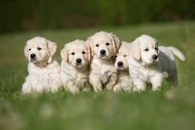 ゴールデンレトリーバー の子犬たち