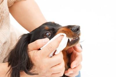 飼い主に歯磨きをされている犬