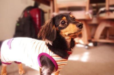 dog_wear