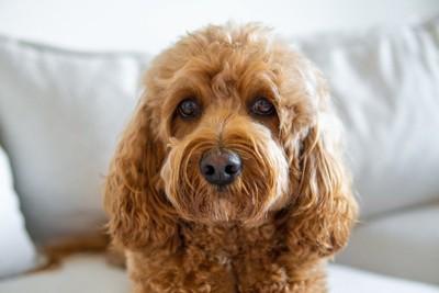 見つめる犬の顔のアップ、たれ耳