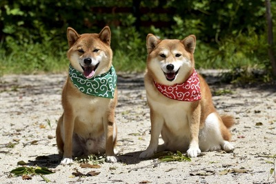 柴犬バンダナ唐草