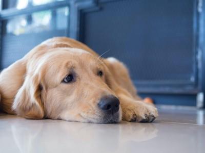 寂しそうに伏せる犬