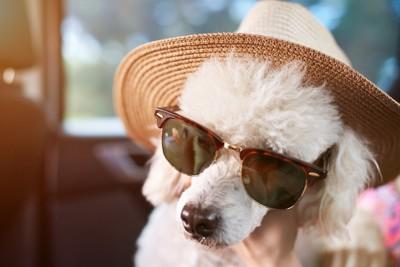 帽子とサングラスを装着している犬