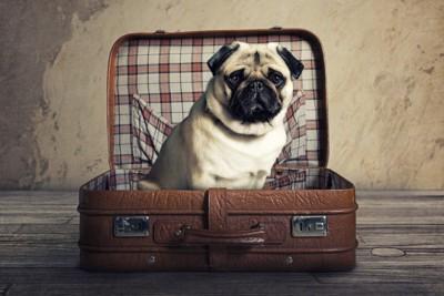旅行かばんに入るパグ