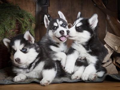 じゃれるシベリアンハスキーの子犬たち