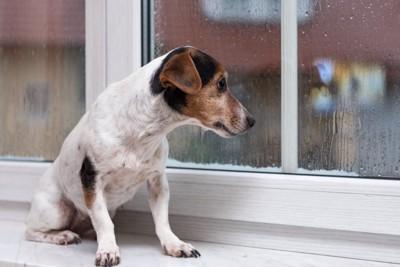 雨が降っているのを眺める犬