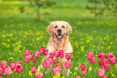 チューリップに囲まれている犬