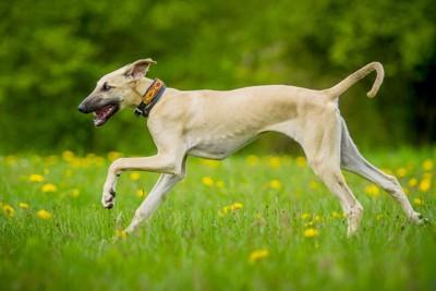 タンポポが咲いている草原を走るスルーギ