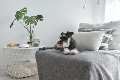 ソファーの上のシュナウザー
