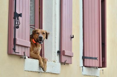 窓から身を乗り出している犬