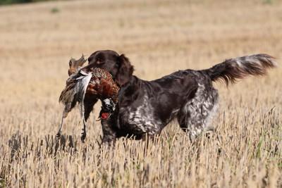 狩りをする犬