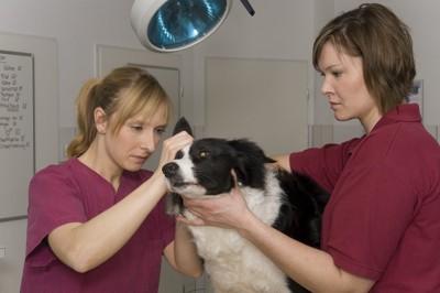 二人の獣医師に診察されている犬