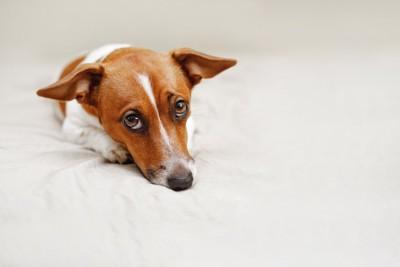 ベッドの上で上目遣いで見つめる犬