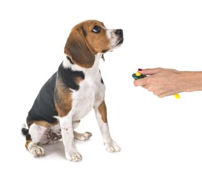 クリッカートレーニングを受けるビーグル犬