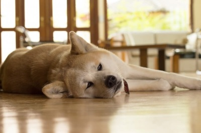 つまらなそうな顔で横になっている秋田犬