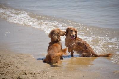 海で遊ぶ二匹の犬