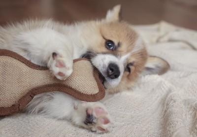 子犬の歯の生え変わり時期