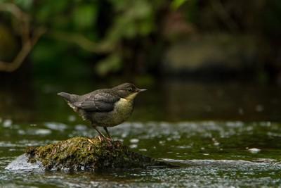 川の中洲で休む野鳥