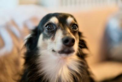 ウルウルした瞳の犬