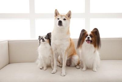 パピヨン柴犬