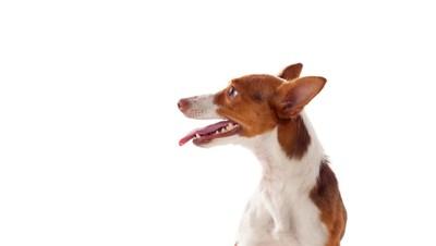 ポデンゴの一種のハウンド犬