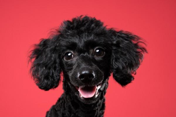 漆黒の犬騎士トイプードル