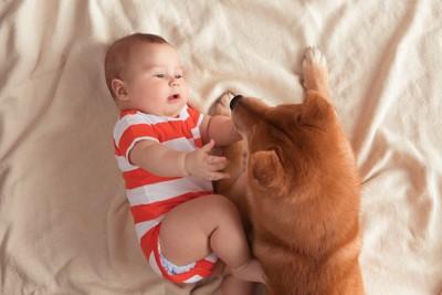 柴犬に触ろうとする赤ちゃん