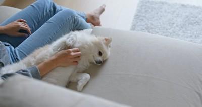 ソファーに寝転がって撫でられている白いポメラニアン