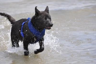水遊びをする甲斐犬