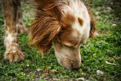 地面の匂いを嗅いでいる犬