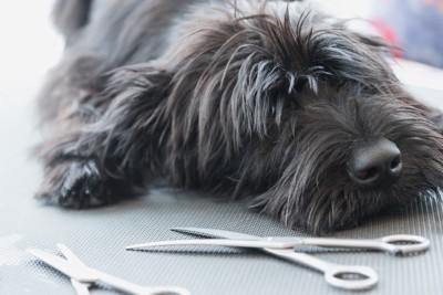 ハサミの前で寝そべる犬