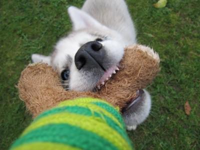 おもちゃを引っ張る乳歯の前歯をした子犬