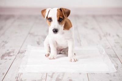 トイレシーツの上に乗る犬