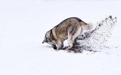 土を掘る犬の後姿